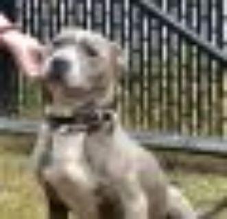 Sebastian American Staffordshire Terrier - Terrier Dog