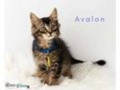 Adopt Avalon a Gray or Blue Domestic Shorthair / Domestic Shorthair / Mixed cat