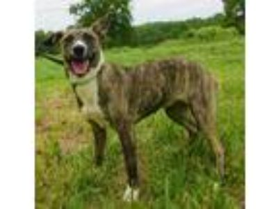 Adopt Alexa a Brindle - with White Whippet / Mixed dog in Centerton