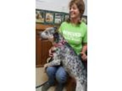 Adopt Pepper a Australian Cattle Dog / Blue Heeler, German Shorthaired Pointer