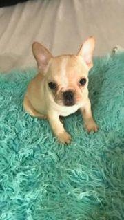 French Bulldog PUPPY FOR SALE ADN-102477 - Cinnamon