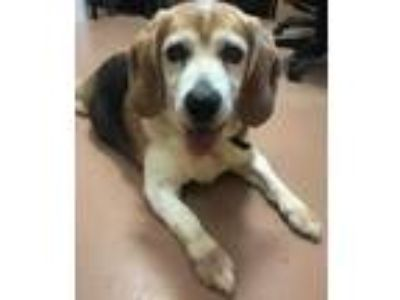Adopt Lucky a Brown/Chocolate Beagle / Mixed dog in Columbia, SC (25524161)