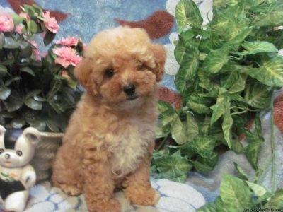 ACA Miniature Poodle Puppies