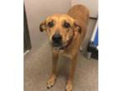 Adopt Naomi a Brown/Chocolate Hound (Unknown Type) / Mixed dog in Louisburg