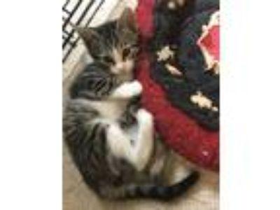 Adopt Jasmine a American Shorthair cat in Acworth, GA (25577737)