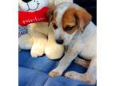 Adopt Sweet Pea a White - with Tan, Yellow or Fawn Australian Cattle Dog /