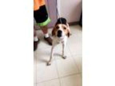 Adopt Belle a White - with Brown or Chocolate Hound (Unknown Type) / Mixed dog