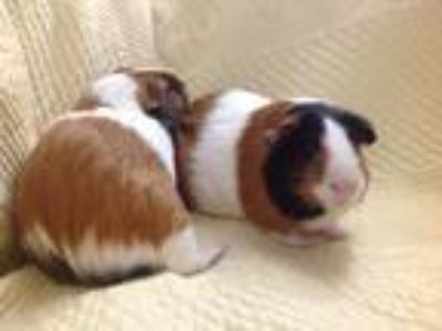 Adopt Gilly & Catlyn a Red Guinea Pig (short coat) small animal in Williston