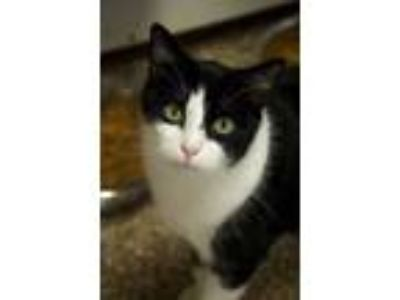 Adopt Pepe Le Pue a Domestic Shorthair / Mixed (short coat) cat in Ft.
