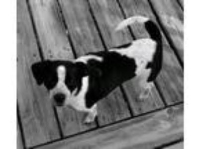 Adopt Moo a White - with Black Boston Terrier / Springer Spaniel / Mixed dog in