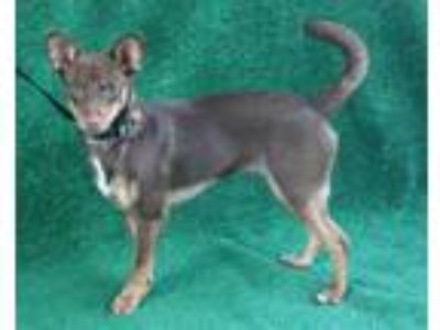 Adopt A105811 a Terrier, Mixed Breed