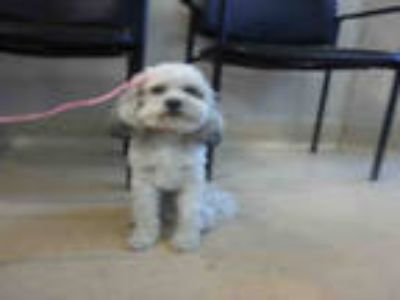Adopt #ANDRES a White - with Gray or Silver Poodle (Miniature) / Mixed dog in