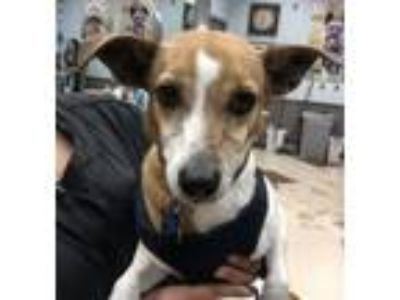 Adopt Brownie a Jack Russell Terrier, Greyhound