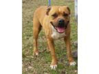 Adopt Taz - N a Boxer, Terrier