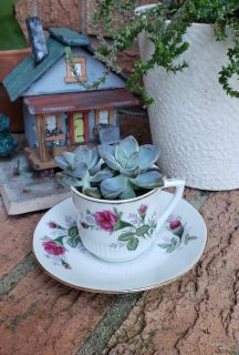 Succulent In Small Teacup and Saucer
