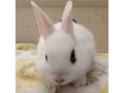 Adopt Azim a White Dwarf Hotot / Mixed (short coat) rabbit in Los Angeles