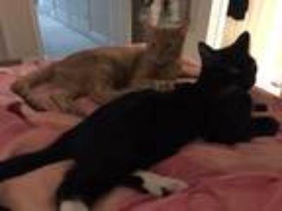 Adopt Sam (& Marlie) a Orange or Red Domestic Shorthair / Mixed (short coat) cat