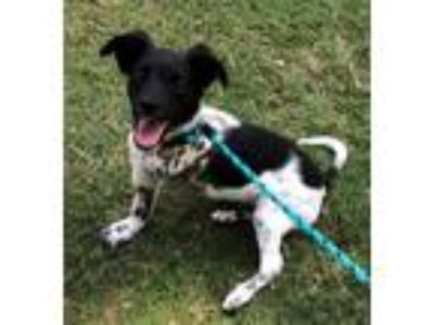 Adopt Stark a White - with Black Papillon / Rat Terrier / Mixed dog in