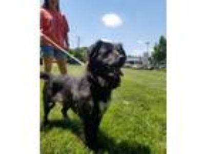 Adopt Kyra a Black - with White Spaniel (Unknown Type) / Border Collie / Mixed