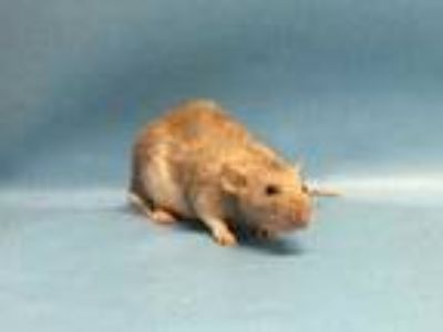 Adopt Napoleon a White Rat / Rat / Mixed small animal in Golden Valley