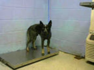 Adopt MOOSE a Black - with White Australian Cattle Dog / Mixed dog in Atlanta