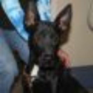 Zeus-pre adoptable, ready Oct 17 German Shepherd Dog - Carolina Dog Dog