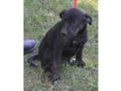 Adopt Molly meet 5/24 a Black - with White Labrador Retriever / Mixed dog in
