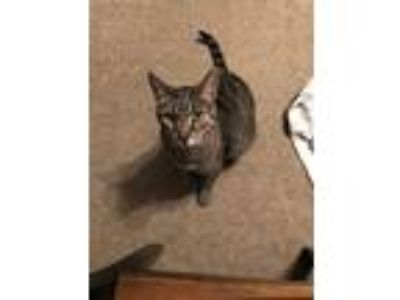 Adopt Hector a Brown Tabby Domestic Shorthair (short coat) cat in Norristown