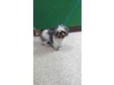 Adopt Scott a Gray/Blue/Silver/Salt & Pepper Shih Tzu / Mixed dog in Pasco