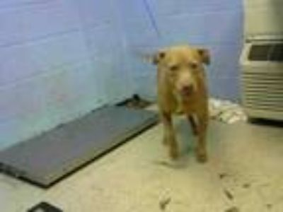 Adopt SAMANTHA a Pit Bull Terrier, Mixed Breed