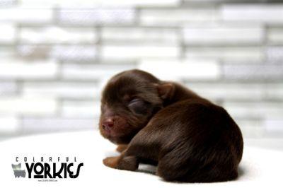 Yorkshire Terrier PUPPY FOR SALE ADN-111573 - Peanut