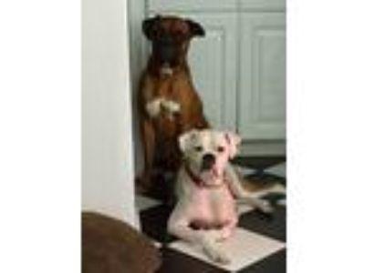 Adopt Billy Da Kid (BDK) a Tan/Yellow/Fawn - with White Boxer / Boxer / Mixed