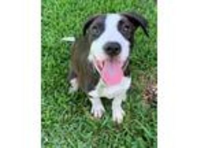 Adopt Zullo a Black - with White Pit Bull Terrier / Mixed dog in Garland