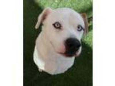 Adopt Chompy a White Boxer / Mixed dog in Dallas, TX (24354037)