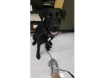 Adopt Sampson a Black Labrador Retriever / Mixed dog in Portland, OR (25577723)