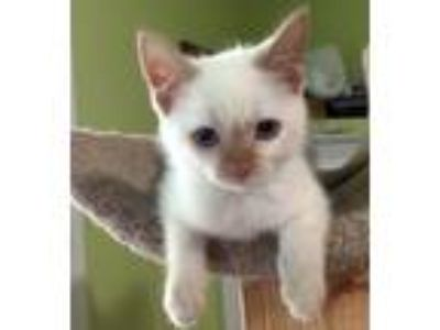 Adopt Benjamin Bunny19 a Siamese / Mixed (short coat) cat in Youngsville