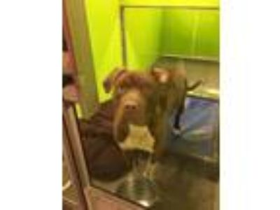Adopt Bubba a Brown/Chocolate American Pit Bull Terrier / Terrier (Unknown Type