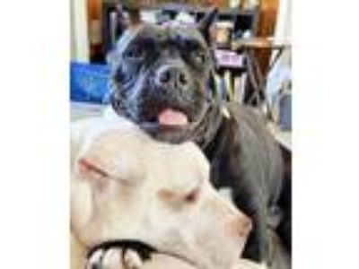 Adopt Georgie a American Staffordshire Terrier, Pit Bull Terrier