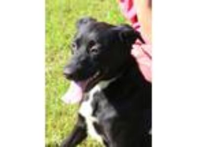 Adopt Tygra a Black - with White Labrador Retriever / Retriever (Unknown Type) /