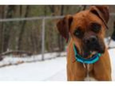 Adopt Hasty in NH a Boxer