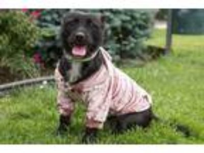 Adopt Bindie a Black Terrier (Unknown Type, Small) / Mixed dog in Wantagh