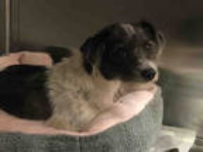Adopt a Black - with White Schnauzer (Miniature) / Mixed dog in Dallas
