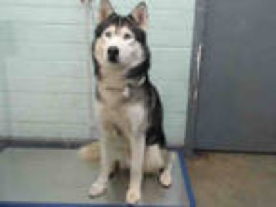 Adopt TURTLE a Black - with White Husky / Mixed dog in Gardena, CA (25559531)