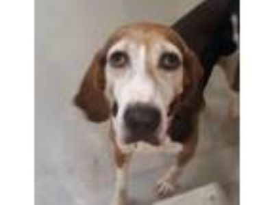 Adopt Pearl a Tan/Yellow/Fawn Hound (Unknown Type) dog in Lynchburg