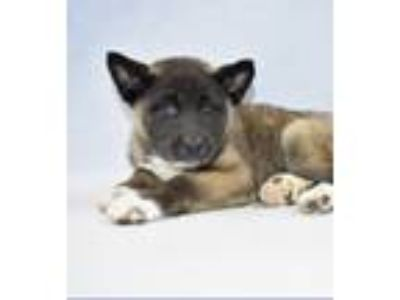 Adopt Anita a Black - with Brown, Red, Golden, Orange or Chestnut Akita / Mixed