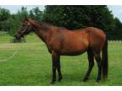 Adopt Cody James a Bay Thoroughbred / Mixed horse in Lovettsville, VA (14538068)