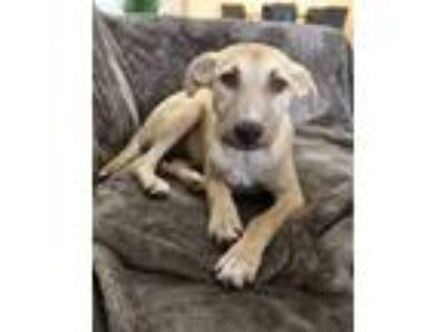 Adopt Penny a Tan/Yellow/Fawn Labrador Retriever dog in Manhattan, NY (25328122)