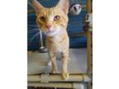 Adopt Marvin a Domestic Shorthair / Mixed (short coat) cat in Boston