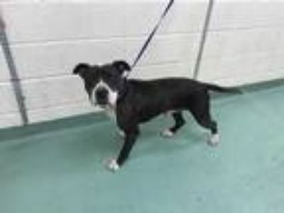 Adopt MOOSE a Brindle - with White Mixed Breed (Medium) / Mixed dog in Memphis