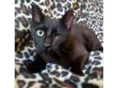 Adopt MYSTERY a All Black Domestic Shorthair / Domestic Shorthair / Mixed cat in